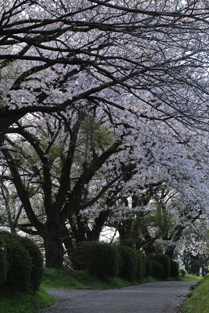 桜百景(茅ヶ崎市芹沢)