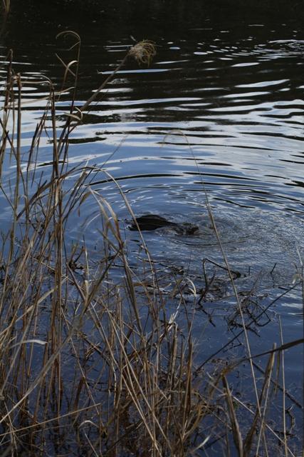 鯉の産卵風景(茅ヶ崎里山公園 芹沢の池)