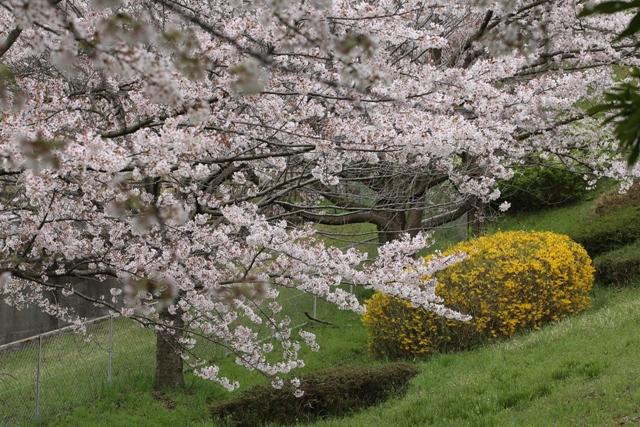 文教大学 湘南キャンパスの桜