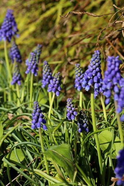 春の訪れ ムスカリ
