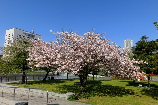 赤レンガパークの満開の八重桜