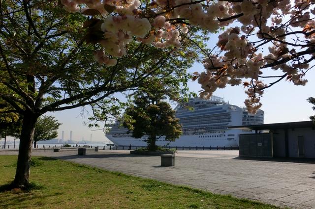 ダイヤモンドプリンセス号と八重桜