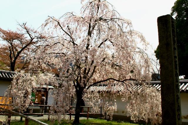 醍醐寺総門脇のしだれ桜