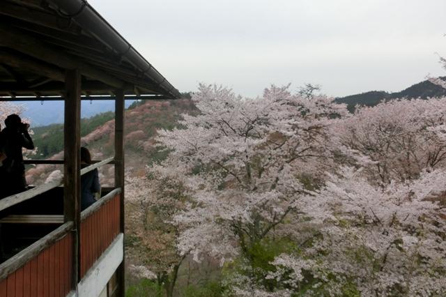 見渡す限り 桜、桜.、桜のオンパレード