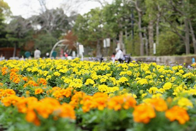 マリーゴールドに植え替わった夏花壇