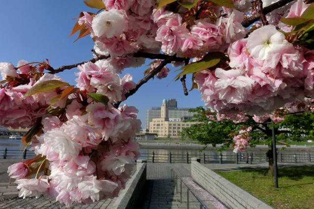 桜に囲まれた横浜税関