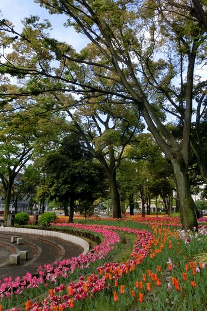 横浜公園の遅咲きのチューリップ