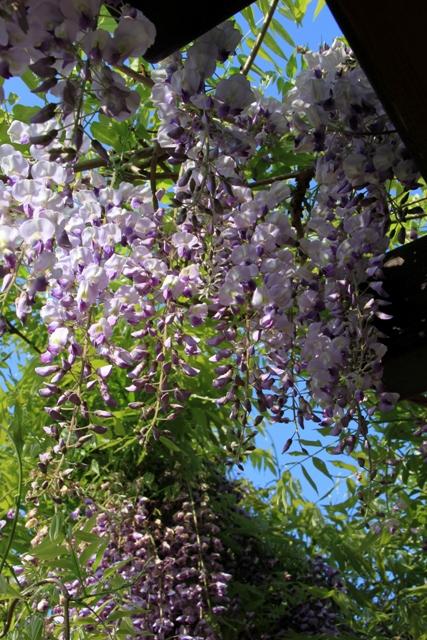 満開の花がきれいなノダフジ