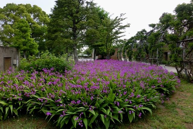 紫蘭の大群落