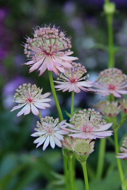 不思議な花 アストランティア マヨール