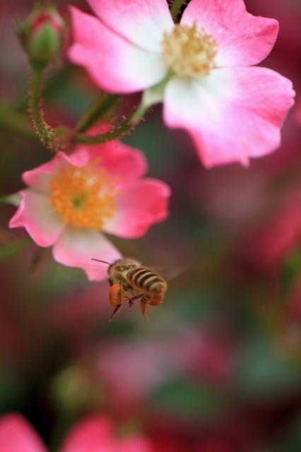 せっせと蜜を集める日本ミツバチ
