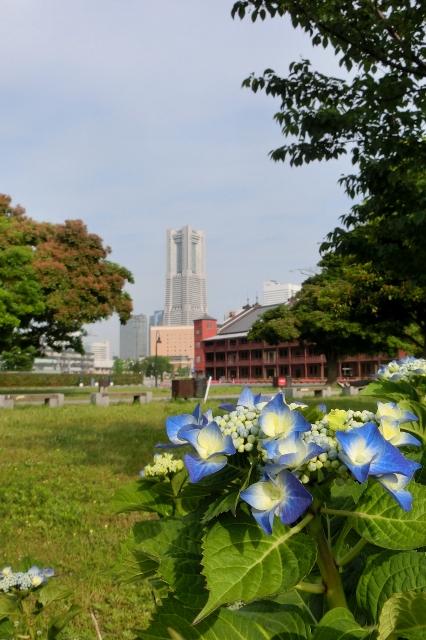 アジサイ映える横浜ランドマークタワー