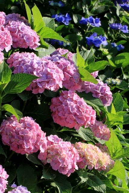 きれいなピンクの紫陽花