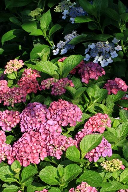 色の対比がきれいな紫陽花