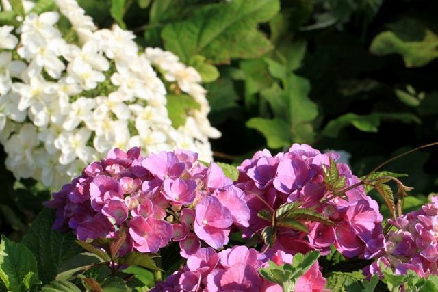 香りがないのが残念な紫陽花