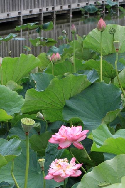 鵠沼の蓮池