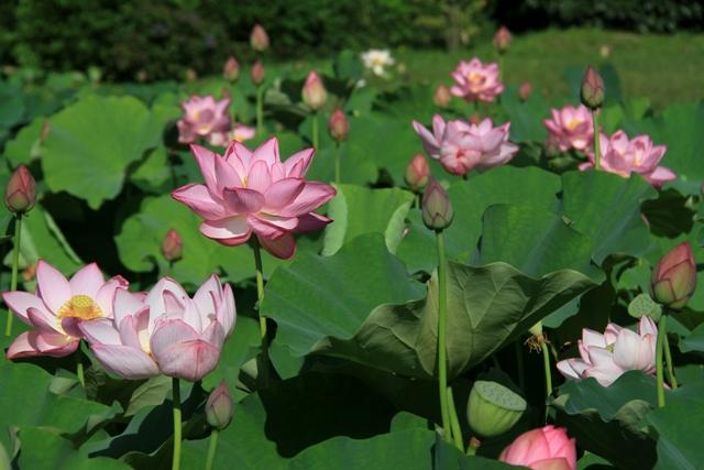ピンク色に染まった蓮池