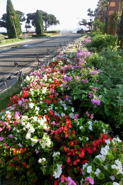 秋花壇 ベゴニア センパーフローレンス