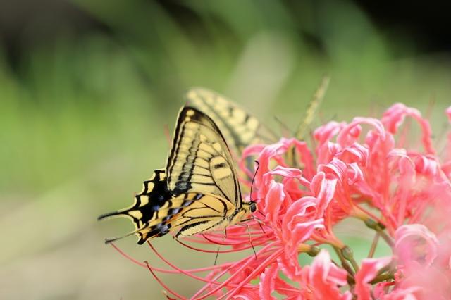 蜜を吸うアゲハチョウ