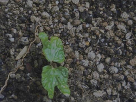 アサガオの芽が出ました