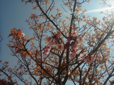 桜、桜、もう始まっています