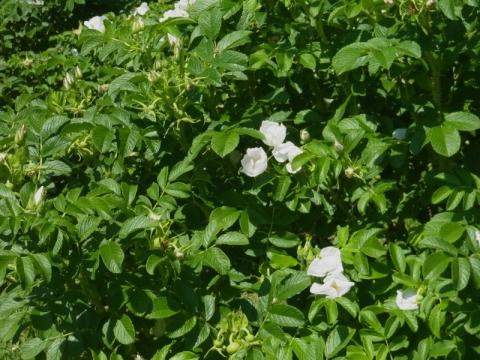 卯の花の季節です