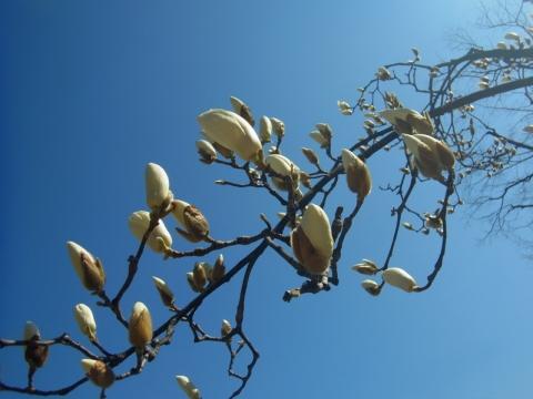 ハクモクレンの咲き始め