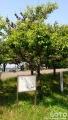 みたら室蘭(荘川桜1)