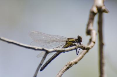 ヒメクロサナエ