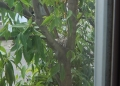 カワラヒワの巣