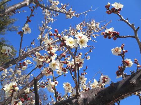016梅の花