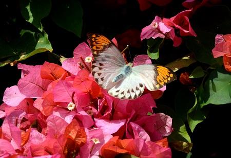 176蝶々