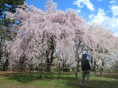 028敷島公園、しだれ桜