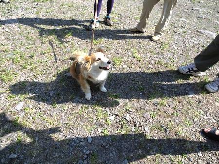 016アイドル犬さくらちゃん