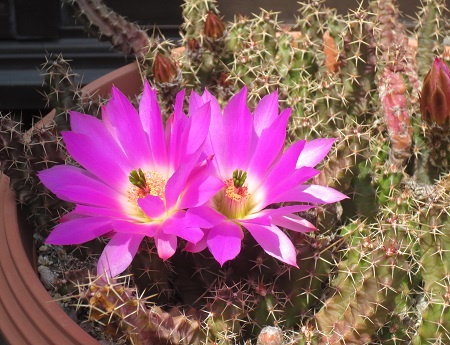 002サボテンの花