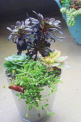 アエオニウムとカペンシスの寄せ植