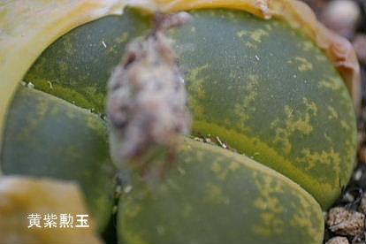 リトープス 黄紫勲玉