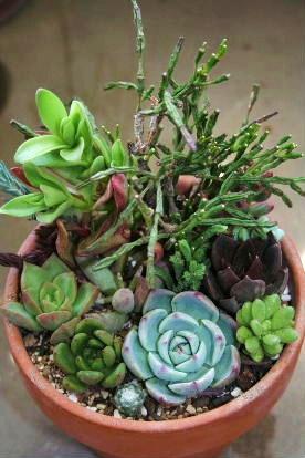 チワワ・古紫・ジェイドポイントなど寄せ植え