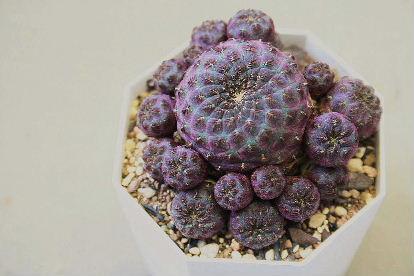 紫ラウシー