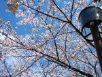 桜2014 003