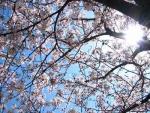 桜2014 004