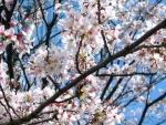 桜2014 005