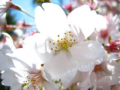 桜2014 010