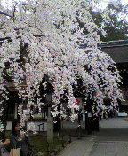 さくらの京菓子司への道-2013032416050001.jpg