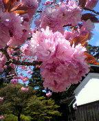 さくらの京菓子司への道-2013042111520001.jpg