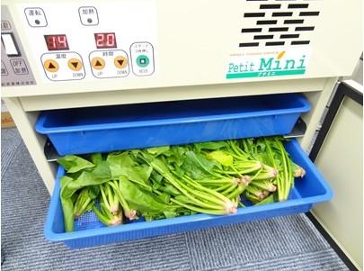 野菜乾燥機トレイにほうれん草入れる