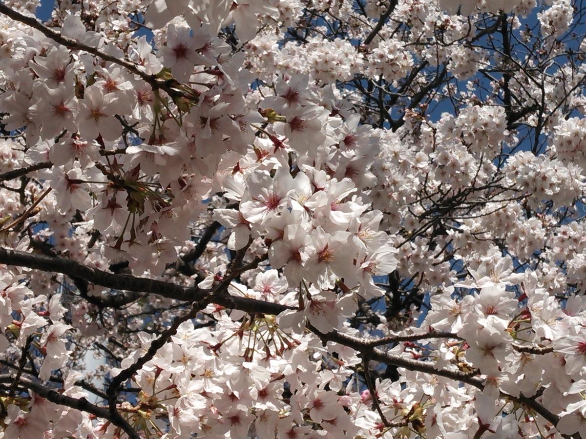 (140406) 桜2