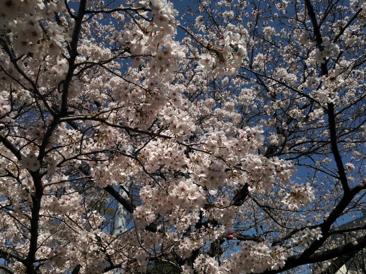 (140406) 桜1