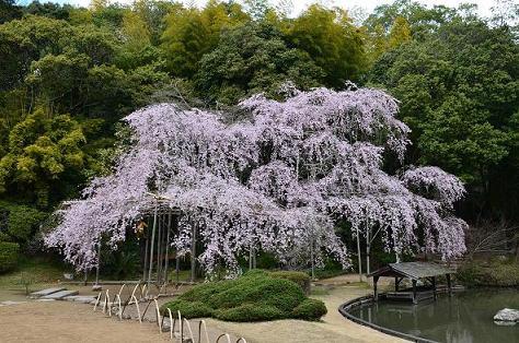 DSC_2643曹源寺の桜
