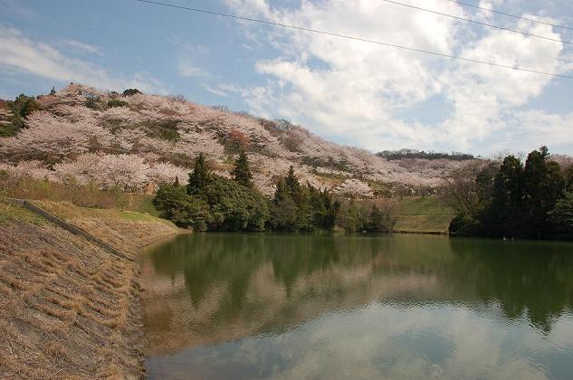 DSC_0066種松山にお桜